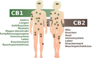 Das Endocannabinoid-System im menschlichen Körper mit den CB1 und CB2-Rezeptoren